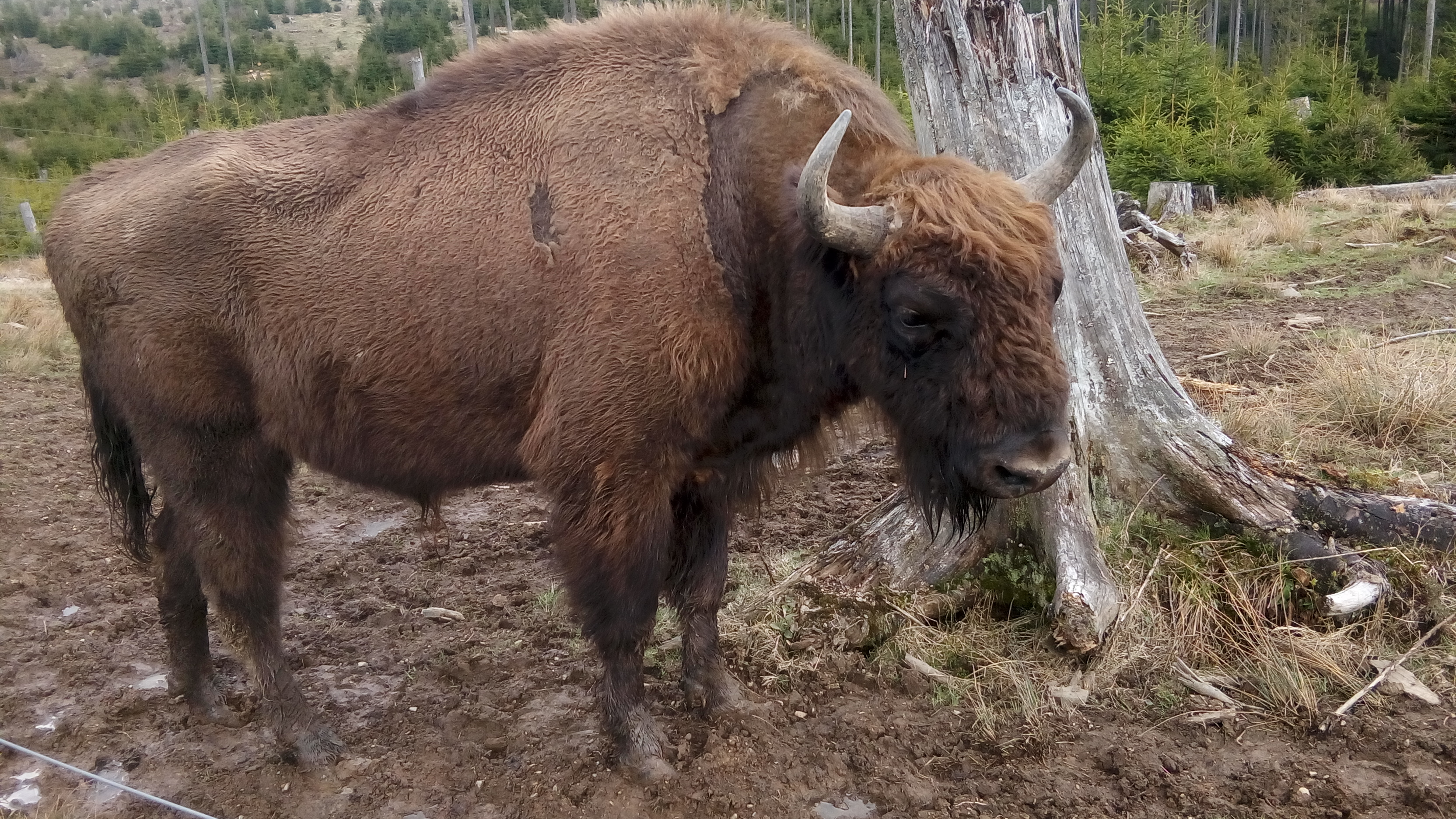 Wisent in Wisent-Welt