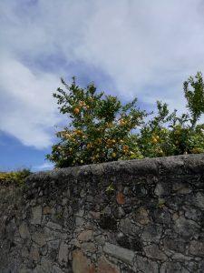 Zitronenbaum hinter alter Mauer