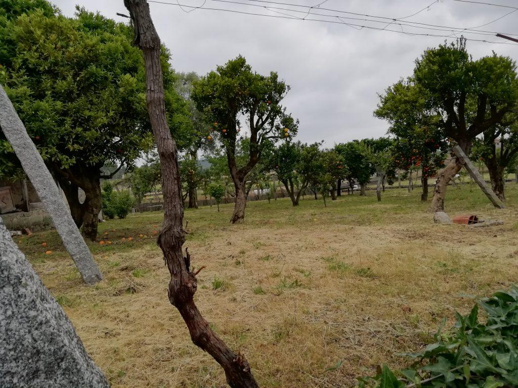 Caminho Portugues - ein Garten mit Orangenbäumen