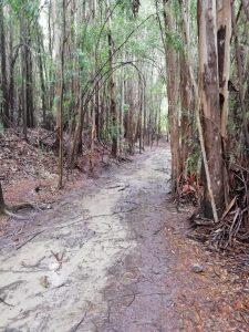 Caminho Portugues Tag 5 - Eukalyptuswald mit Schlammboden